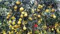 Người Sài Gòn thích thú bưởi Tết vàng rực, giá quá 'khủng' cả triệu một trái
