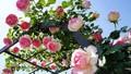 Đầu xuân trẩy hội Hoa hồng