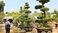 Lão nông gây dựng vườn bonsai bạc tỷ