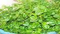 Dân Hà Nội phát sốt với rau mọc hoang