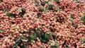 Nước nào trồng vải nhiều nhất thế giới?