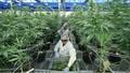 Thái Lan cho phép sử dụng cần sa trong y tế: Bước ngoặt ở đất nước nổi tiếng nghiêm trị người nghiện hút