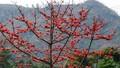 Tây Nguyên mùa hoa pơ-lang