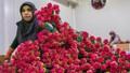 Thổ Nhĩ Kỳ xuất khẩu 35 triệu bông hoa dịp Quốc tế phụ nữ