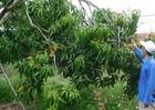 Khánh Hòa: Nông dân điêu đứng vì thất thu mùa xoài