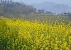 Cải mèo vàng rực triền núi, Sun World Fansipan Legend tấp nập du khách check-in