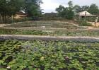 Trồng hoa trên bùn, chàng nông dân 8x thu hàng trăm triệu đồng mỗi năm