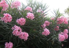 Bộ Y tế đề nghị loại bỏ cây có độc tố trong khuôn viên trường học