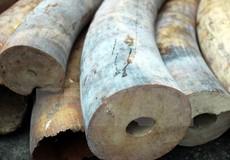 Phó thủ tướng yêu cầu làm rõ tổ chức đường dây vận chuyển trái phép ngà voi