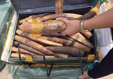 Cán bộ hải quan bất ngờ được gửi cho lô hàng ngà voi