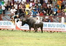 Từ việc chủ trâu bị húc chết: Có nên dừng các lễ hội chọi động vật?