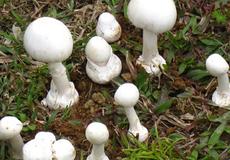 Liên tiếp ngộ độc nấm bởi người dân khó phân biệt nấm lành hay nấm độc
