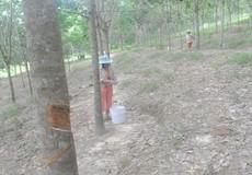 Thừa Thiên - Huế: Mủ cao su rớt giá, nông dân điêu đứng