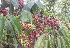 Cà phê trong nước ngược chiều giá thế giới