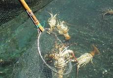 Khánh Hòa: Nghi tảo độc làm chết hàng loạt hải sản