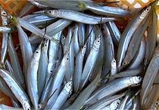 Thu mua rầm rộ cá lìm kìm ở Cà Mau: Tổng cục Thủy sản chờ địa phương báo cáo