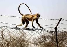 Kinh hoàng: Khỉ 'bắt cóc' và giết chết em bé 12 ngày tuổi