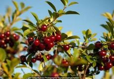 Loài cây bí ẩn sinh trưởng trong thời tiết -40 độ C ở Canada