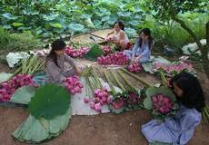 Người Hà Nội hái sen ủ trà
