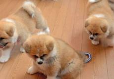Đàn chó biến tiệm spa Nhật Bản thành nơi hút khách