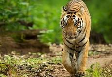 """Chiến dịch vây bắt con hổ """"xảo quyệt"""" vồ chết 13 người"""