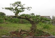 Bắt giữ thầy cúng thực hiện 9 vụ trộm cây cảnh