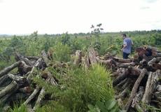 """""""Lâm tặc"""" lợi dụng thời điểm chuyển giao đất để tàn sát rừng"""