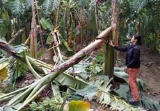 Phú Thọ: kẻ chặt phá gần 2.000 cây chuối vẫn nhởn nhơ ngoài vòng pháp luật