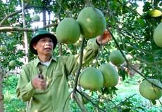 Mô hình cây ăn quả ở Phú Thọ giúp nông dân thoát nghèo bền vững
