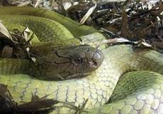 Đi tìm ẩn số về rắn khổng lồ trên đảo Phú Quốc