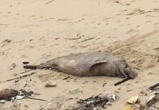 Quảng Bình:  Cá heo chết nặng 70kg dạt vào bờ biển