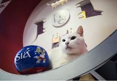 Ly kỳ chú mèo điếc đoán đúng kết quả tất cả các trận đấu World Cup
