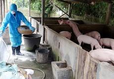 Khẩn cấp ngăn chặn Dịch tả lợn Châu Phi xâm nhập vào Việt Nam