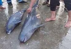 Hà Tĩnh: Chôn cất 2 con cá heo bị chết sau khi vướng lưới ngư dân