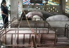 Lợn rớt giá, nông dân bỏ làng đi làm osin, lợn đói nằm... chờ chết