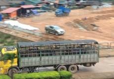 Cửa khẩu Cha Lo: Kiểm dịch trâu, bò nhập khẩu qua loa, hiểm họa dịch bệnh