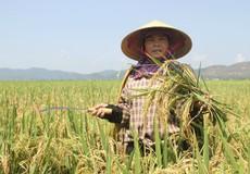 Hà Tĩnh: Nguy cơ mất mùa vì hàng ngàn hecta lúa bị bệnh đạo ôn
