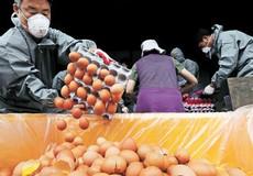 Hàn Quốc: Lộ thêm nhiều trứng nhiễm thuốc trừ sâu