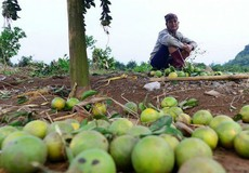 """Hòa Bình: Người trồng cam Cao Phong """"khóc ròng"""" vì mưa lũ"""