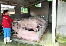 Phước Hòa, Tuy Phước: Lùm xùm việc thống kê thiệt hại gia súc, gia cầm