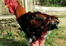 """Đưa giống gà """"quý tộc"""" về sinh sôi trên vùng đất cằn nắng gió"""