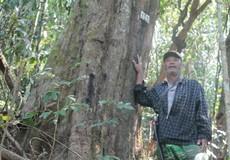 Già làng K'Ho dành trọn đời mình... trả nợ rừng