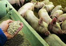 Làm rõ mức độ ảnh hưởng của chất tăng độ đạm trong thức ăn chăn nuôi