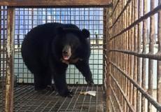 Nỗ lực thực thi pháp luật để cứu gấu