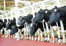 TH true MILK hướng tới sản lượng sữa ngang tầm thế giới