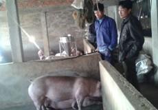 Hà Tĩnh: Hỗ trợ gần 9 tỷ đồng cho các cơ sở chăn nuôi lợn nái