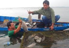 Mất ăn mất ngủ vì cá nuôi chết trắng lồng ở Lăng Cô