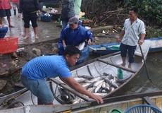 Người dân điêu đứng trước cảnh cá nuôi lồng chết hàng loạt