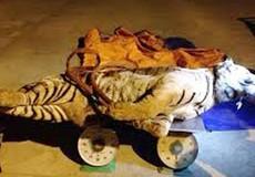 Giấu 2 con hổ nặng hơn 300kg trong... trang trại bò