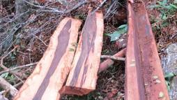 Vụ phá rừng gỗ mun Phong Nha: Không khó tìm ra thủ phạm?
